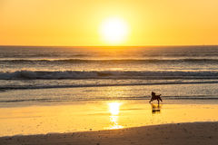 Dog barking at sunset on beautiful beach in Cape Town. Dog barking at sunset on beautiful beach, Cape Town royalty free stock photography