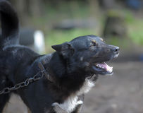 Dog barks. Black with a white spot purebred dog mongrel Stock Photos