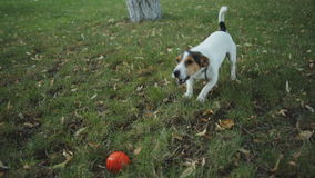 The dog barks on the grass. Small dog breed Jack Russell Terrier barks at the grass and looking at camera on summer day stock footage
