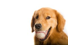 Dog with baseball. A cute golden retriever dog holding a baseball in his mouth Stock Image