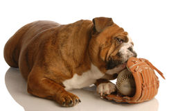 Dog with baseball glove Royalty Free Stock Photos