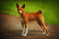 Dog Basenji is in the show position Stock Image