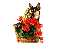 Dog in a basket Royalty Free Stock Photos