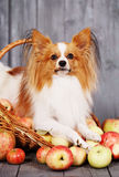 Dog in a basket with apples Stock Image