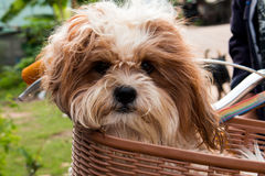 Dog  in a basket on a bicycle Royalty Free Stock Photography