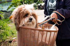 Dog  in a basket on a bicycle Stock Photos