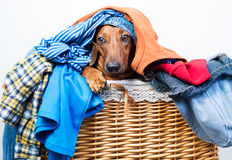 Dog in the basket of clothes Stock Image