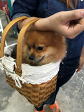 Dog in a basket Stock Image