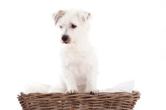 Dog in basket. Happy dog photographed in the studio on a white background royalty free stock photography