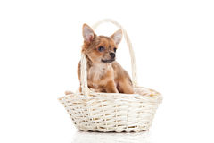 Dog in basket isolated on white background Stock Photography