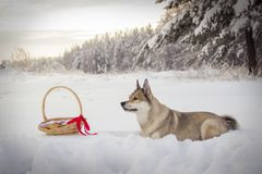 A dog and a basket of pies on white snow in the forest stock photo