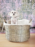 Dog in basket Stock Image