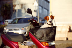 Dog in a basket scooter Royalty Free Stock Images