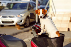 Dog in a basket scooter Royalty Free Stock Photo