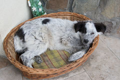 Dog in basket Royalty Free Stock Photos