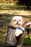 Dog in the basket. Dog strolling in the bike basket royalty free stock photography