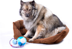 Dog in basket with toys Royalty Free Stock Photo