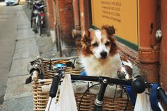 Dog in the basket. Royalty Free Stock Images