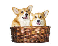 Dog in a basket Royalty Free Stock Image