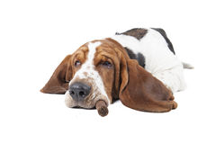 Dog (Basset) with a cigar. Sleeps on a white background Stock Images