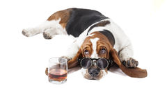 Dog (Basset with a glass of whisky Stock Photography