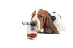 Dog (Basset with a glass of whisky. On a white background in the Studio Stock Images