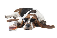 Dog (Basset with a glass of whisky. On a white background in the Studio Stock Photos