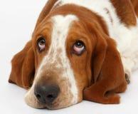Dog, basset hound, isolated. Dog, basset hound portrait on the white background, isolated stock image