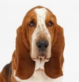 Dog, basset hound, isolated. Dog, basset hound portrait on the white background, isolated royalty free stock image