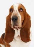 Dog, basset hound, isolated. Dog, basset hound portrait on the white background, isolated royalty free stock photography