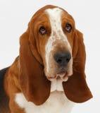 Dog, basset hound, isolated. Dog, basset hound portrait on the white background, isolated royalty free stock photo