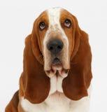 Dog, basset hound, isolated. Dog, basset hound portrait on the white background, isolated stock photo
