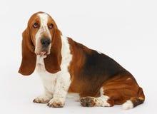 Dog, basset hound, isolated. Dog, basset hound is sitting on the white background, isolated royalty free stock photo