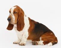 Dog, basset hound, isolated. Dog, basset hound is sitting on the white background, isolated stock photography