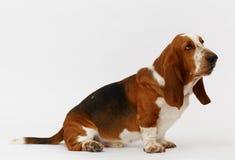Dog, basset hound, isolated. Dog, basset hound sitting on the white background, isolated stock image