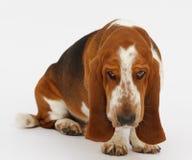 Dog, basset hound, isolated. Dog, basset hound is sitting on the white background, isolated royalty free stock images