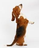 Dog, basset hound, isolated. Dog, basset hound stand on the white background, isolated royalty free stock photo