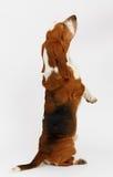 Dog, basset hound, isolated. Dog, basset hound stand on the white background, isolated stock image
