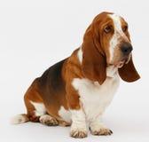 Dog, basset hound, isolated. Dog, basset hound stand on the white background, isolated stock photo