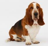 Dog, basset hound, isolated. Dog, basset hound stand on the white background, isolated stock images