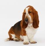 Dog, basset hound, isolated. Dog, basset hound stand on the white background, isolated stock photography
