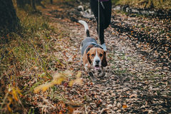 Dog Basset hound. On a leash running in autumn forest Stock Image