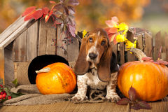 Dog Basset Hound stock images