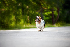 dog Basset hound running on the road Royalty Free Stock Images