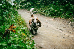 Dog Basset hound. Running in the woods on a dirt path royalty free stock photography