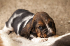 Dog Basset hound. Selective focus and small depth of field royalty free stock image