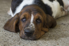 Dog Basset hound. Selective focus and small depth of field stock photo
