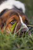 Dog Basset hound. Selective focus and small depth of field stock images