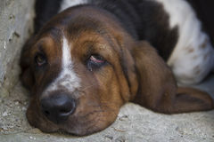 Dog Basset hound. Selective focus and small depth of field stock image
