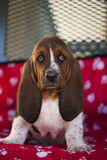 Dog Basset hound. Selective focus and small depth of field royalty free stock photos